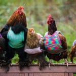 Dame i England Strikker Klær Til Kyllinger For At De Skal Holde Varmen