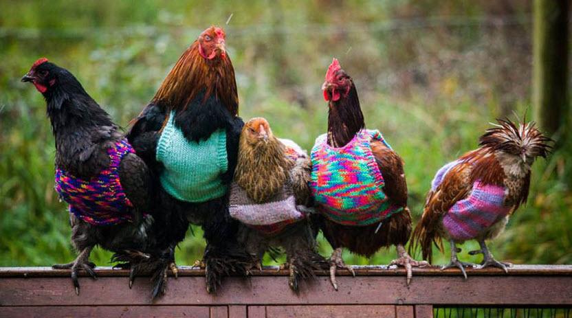 strikke-kylling